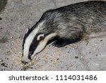 european badger  meles meles ... | Shutterstock . vector #1114031486
