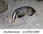 european badger  meles meles ... | Shutterstock . vector #1114031489