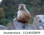 Wild scenic macaque monkey...