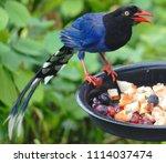 taiwan blue magpie  urocissa...   Shutterstock . vector #1114037474