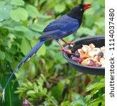 taiwan blue magpie  urocissa...   Shutterstock . vector #1114037480