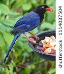 taiwan blue magpie  urocissa...   Shutterstock . vector #1114037504
