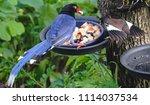 taiwan blue magpie  urocissa...   Shutterstock . vector #1114037534