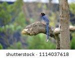 taiwan blue magpie  urocissa...   Shutterstock . vector #1114037618
