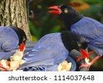 taiwan blue magpie  urocissa...   Shutterstock . vector #1114037648