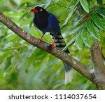 taiwan blue magpie  urocissa...   Shutterstock . vector #1114037654