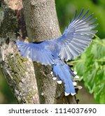 taiwan blue magpie  urocissa...   Shutterstock . vector #1114037690