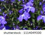 "blue ""trailing lobelia sapphire""... | Shutterstock . vector #1114049330"