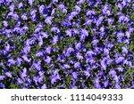 "blue ""trailing lobelia sapphire""... | Shutterstock . vector #1114049333"