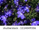 "blue ""trailing lobelia sapphire""... | Shutterstock . vector #1114049336"