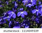 "blue ""trailing lobelia sapphire""... | Shutterstock . vector #1114049339"