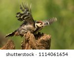 great spotted woodpecker and... | Shutterstock . vector #1114061654