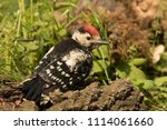 great spotted woodpecker and... | Shutterstock . vector #1114061660