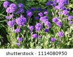 large group of flowering... | Shutterstock . vector #1114080950