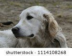 a bored dog. health and... | Shutterstock . vector #1114108268