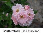 rose flower closeup. shallow... | Shutterstock . vector #1114109564