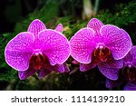 moth orchid flowers or...   Shutterstock . vector #1114139210
