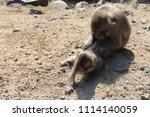 monkeys on shodoshima island in ... | Shutterstock . vector #1114140059