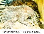 porcupine in zoo  thailand. | Shutterstock . vector #1114151288