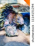 porcupine in zoo  thailand. | Shutterstock . vector #1114151294