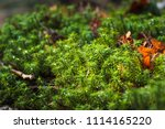 Small photo of Moss, (division Bryophyta), any of at least 12,000 species of small nonvascular spore-bearing land plants.