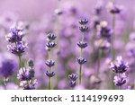 lavender in garden | Shutterstock . vector #1114199693
