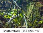 the cardinal tetra ... | Shutterstock . vector #1114200749