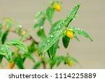 fresh small flower after rain... | Shutterstock . vector #1114225889