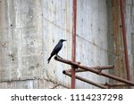 Small photo of Black crow open the beak and perch on the scaffolding iron with cement walls are under construction background. It is a large perching bird with mostly glossy black plumage, a heavy bill.