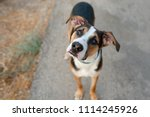 dog playing outside. curious... | Shutterstock . vector #1114245926