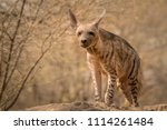 indian striped hyena habitat... | Shutterstock . vector #1114261484