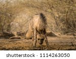 indian striped hyena habitat... | Shutterstock . vector #1114263050