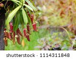 insectivorous plant ... | Shutterstock . vector #1114311848