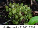 insectivorous plant ... | Shutterstock . vector #1114311968