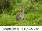 Stock photo wild native young rabbit oryctolagus cuniculus eating grass and grooming on a summer s morning 1114327940
