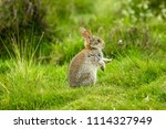 Stock photo wild native young rabbit oryctolagus cuniculus eating grass and grooming on a summer s morning 1114327949