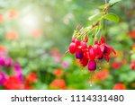 Fuchsia Hybrids In The Garden