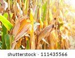 Sunlight And Corn