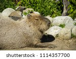 large capybara warming up in... | Shutterstock . vector #1114357700