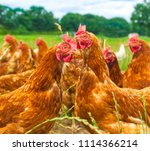 chicken on green grass   nature | Shutterstock . vector #1114366214