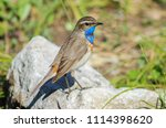 nightingale is sitting on a rock | Shutterstock . vector #1114398620