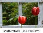tulips in the park | Shutterstock . vector #1114400594