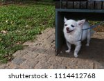 timid little white chihuahua... | Shutterstock . vector #1114412768