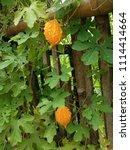a ripe bitter gourd in the... | Shutterstock . vector #1114414664