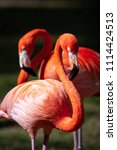 Portrait Of A Pair Of Flamingo...