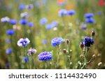 south korea blue cornflower | Shutterstock . vector #1114432490