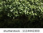 texture of leaves.   Shutterstock . vector #1114442303