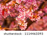 kawazu cherry tree | Shutterstock . vector #1114463393