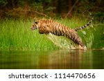siberian tiger  panthera tigris ... | Shutterstock . vector #1114470656