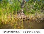 swamp and grass of everglades... | Shutterstock . vector #1114484708